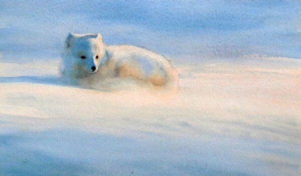 Sunlit Arctic fox