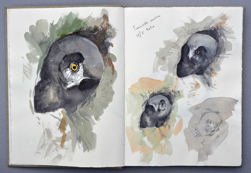 Tengmalm's owl chick