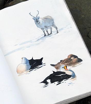 Reindeer and king eiders