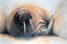 Male walrus